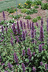 Blue Boa® Hyssop (Agastache 'Blue Boa') at Woldhuis Farms Sunrise Greenhouses