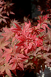Ruby Stars Japanese Maple (Acer palmatum 'Ruby Stars') at Woldhuis Farms Sunrise Greenhouses