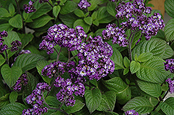 Fragrant Delight Heliotrope (Heliotropium arborescens 'Fragrant Delight') at Woldhuis Farms Sunrise Greenhouses