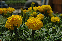 Safari Yellow Marigold (Tagetes patula 'Safari Yellow') at Woldhuis Farms Sunrise Greenhouses