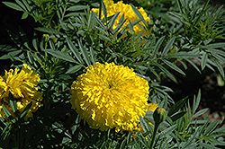 Bali Yellow Marigold (Tagetes erecta 'Bali Yellow') at Woldhuis Farms Sunrise Greenhouses