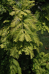 Gold Rush Dawn Redwood (Metasequoia glyptostroboides 'Gold Rush') at Woldhuis Farms Sunrise Greenhouses
