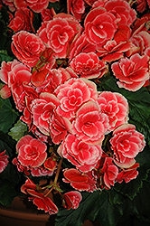 Borias Begonia (Begonia 'Borias') at Woldhuis Farms Sunrise Greenhouses