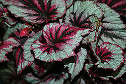 Shadow King Cherry Mint Begonia (Begonia 'Shadow King Cherry Mint') at Woldhuis Farms Sunrise Greenhouses
