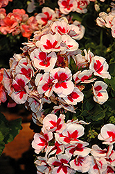 Americana® White Splash Geranium (Pelargonium 'Americana White Splash') at Woldhuis Farms Sunrise Greenhouses