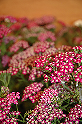 New Vintage Violet Yarrow (Achillea millefolium 'Balvinolet') at Woldhuis Farms Sunrise Greenhouses