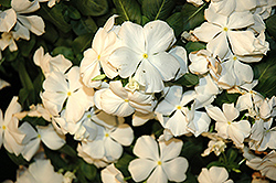 Cora® White Vinca (Catharanthus roseus 'Cora White') at Woldhuis Farms Sunrise Greenhouses