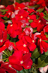 Cora® Red Vinca (Catharanthus roseus 'Cora Red') at Woldhuis Farms Sunrise Greenhouses