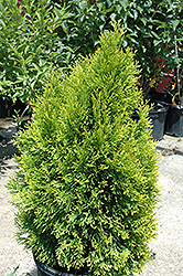 Highlights Arborvitae (Thuja occidentalis 'Janed Gold') at Woldhuis Farms Sunrise Greenhouses