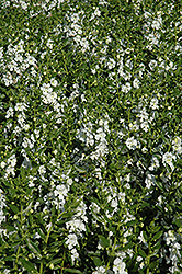 Angelface® White Angelonia (Angelonia angustifolia 'Angelface White') at Woldhuis Farms Sunrise Greenhouses