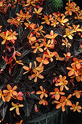 Sparks Will Fly Begonia (Begonia 'Sparks Will Fly') at Woldhuis Farms Sunrise Greenhouses