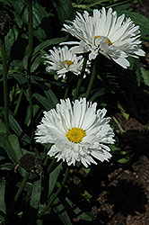 Crazy Daisy Shasta Daisy (Leucanthemum x superbum 'Crazy Daisy') at Woldhuis Farms Sunrise Greenhouses