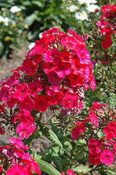 Red Flame Garden Phlox (Phlox paniculata 'Red Flame') at Woldhuis Farms Sunrise Greenhouses