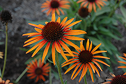 Flame Thrower Coneflower (Echinacea 'Flame Thrower') at Woldhuis Farms Sunrise Greenhouses