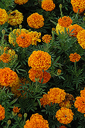 Lady Orange Marigold (Tagetes erecta 'Lady Orange') at Woldhuis Farms Sunrise Greenhouses