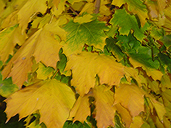 Columnar Norway Maple (Acer platanoides 'Columnare') at Woldhuis Farms Sunrise Greenhouses
