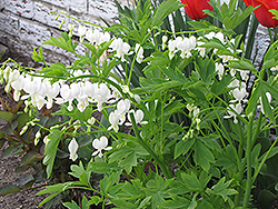 White Bleeding Heart (Dicentra spectabilis 'Alba') at Woldhuis Farms Sunrise Greenhouses