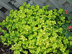 Golden Oregano (Origanum vulgare 'Aureum') at Woldhuis Farms Sunrise Greenhouses