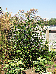 Joe Pye Weed (Eupatorium purpureum) at Woldhuis Farms Sunrise Greenhouses