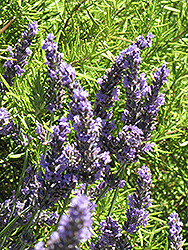 Grosso Lavender (Lavandula x intermedia 'Grosso') at Woldhuis Farms Sunrise Greenhouses
