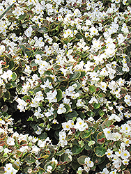 Bada Boom® White Begonia (Begonia 'Bada Boom White') at Woldhuis Farms Sunrise Greenhouses