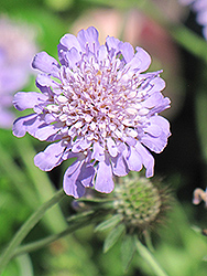 Butterfly Blue Pincushion Flower (Scabiosa 'Butterfly Blue') at Woldhuis Farms Sunrise Greenhouses