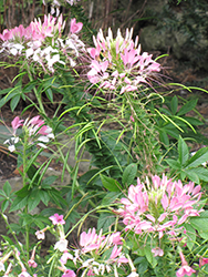 Sparkler™ Blush Spiderflower (Cleome hassleriana 'Sparkler Blush') at Woldhuis Farms Sunrise Greenhouses
