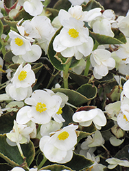 Bada Bing® White Begonia (Begonia 'Bada Bing White') at Woldhuis Farms Sunrise Greenhouses