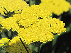 Moonshine Yarrow (Achillea 'Moonshine') at Woldhuis Farms Sunrise Greenhouses