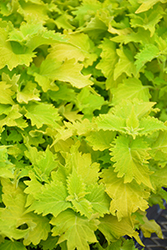 Wasabi Coleus (Solenostemon scutellarioides 'Wasabi') at Woldhuis Farms Sunrise Greenhouses