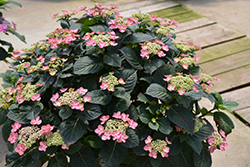 Tuff Stuff™ Red Hydrangea (Hydrangea serrata 'SMNMAKTSR') at Woldhuis Farms Sunrise Greenhouses