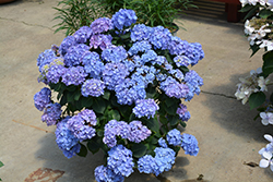 Let's Dance® Blue Jangles® Hydrangea (Hydrangea macrophylla 'SMHMTAU') at Woldhuis Farms Sunrise Greenhouses