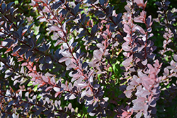 Sunjoy® Syrah Japanese Barberry (Berberis thunbergii 'Helen') at Woldhuis Farms Sunrise Greenhouses