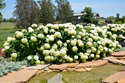 Incrediball® Hydrangea (Hydrangea arborescens 'Abetwo') at Woldhuis Farms Sunrise Greenhouses