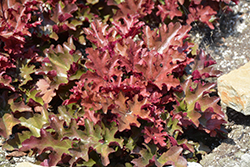 Dolce® Cinnamon Curls™ Coral Bells (Heuchera 'Inheuredfu') at Woldhuis Farms Sunrise Greenhouses