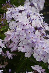 Blue Flame™ Garden Phlox (Phlox paniculata 'Blue Flame') at Woldhuis Farms Sunrise Greenhouses