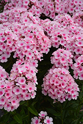 Bright Eyes Garden Phlox (Phlox paniculata 'Bright Eyes') at Woldhuis Farms Sunrise Greenhouses