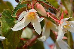Bossa Nova® Pure White Begonia (Begonia boliviensis 'Bossa Nova Pure White') at Woldhuis Farms Sunrise Greenhouses
