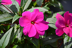Divine™ Orchid New Guinea Impatiens (Impatiens hawkeri 'Divine Orchid') at Woldhuis Farms Sunrise Greenhouses