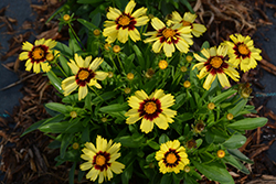 UpTick™ Yellow and Red Tickseed (Coreopsis 'Baluptowed') at Woldhuis Farms Sunrise Greenhouses