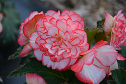 Nonstop® Rose Petticoat Begonia (Begonia 'Nonstop Rose Petticoat') at Woldhuis Farms Sunrise Greenhouses