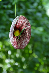 Dutchman's Pipe (Aristolochia macrophylla) at Woldhuis Farms Sunrise Greenhouses
