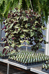 Wandering Jew (Tradescantia zebrina) at Woldhuis Farms Sunrise Greenhouses