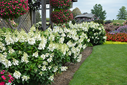 Fire Light® Hydrangea (Hydrangea paniculata 'SMHPFL') at Woldhuis Farms Sunrise Greenhouses