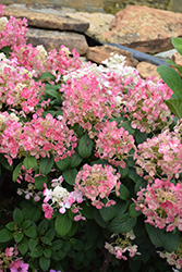 Little Quick Fire® Hydrangea (Hydrangea paniculata 'SMHPLQF') at Woldhuis Farms Sunrise Greenhouses