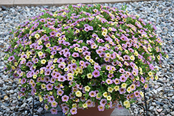 Chameleon™ Blueberry Scone Calibrachoa (Calibrachoa 'Wescachadpiyecheba') at Woldhuis Farms Sunrise Greenhouses