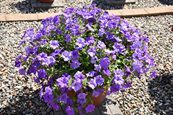 Surfinia® Heavenly Blue Petunia (Petunia 'Surfinia Heavenly Blue') at Woldhuis Farms Sunrise Greenhouses