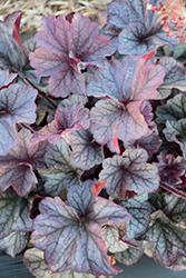 Northern Exposure™ Silver Coral Bells (Heuchera 'Northern Exposure Silver') at Woldhuis Farms Sunrise Greenhouses