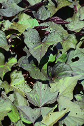 Kelly Ray Sweet Potato Vine (Ipomoea batatas 'Kelly Ray') at Woldhuis Farms Sunrise Greenhouses