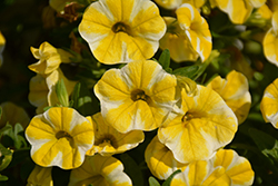 Superbells® Lemon Slice Calibrachoa (Calibrachoa 'Superbells Lemon Slice') at Woldhuis Farms Sunrise Greenhouses
